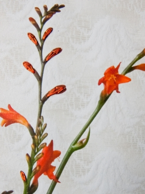 oranje bloem detail